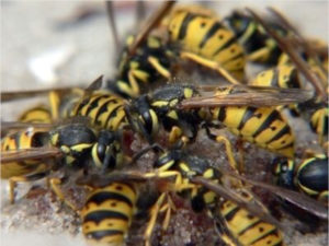 Борьба с осами и шершнями