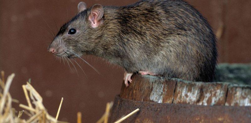Эффективная борьба с крысами