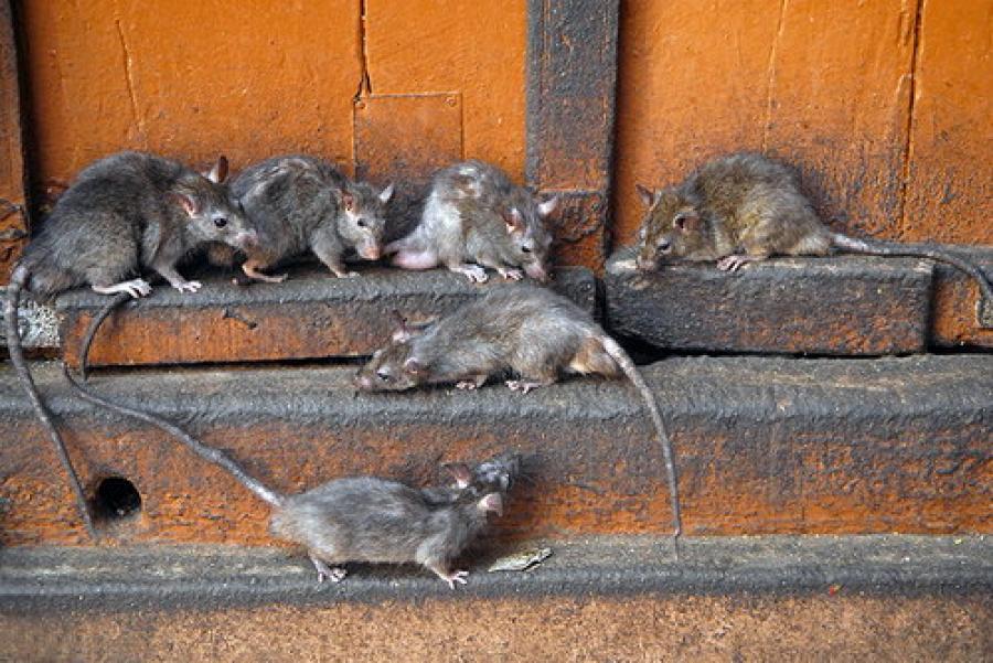 Как избавиться от крыс в общепите?
